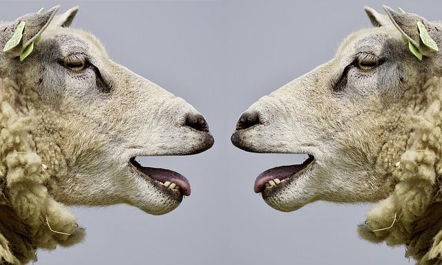 2匹の向かい合う羊